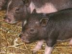 Foster pigs