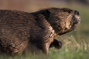 Beaver out of Water