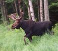 moose 115 scott's