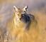 coyote 65