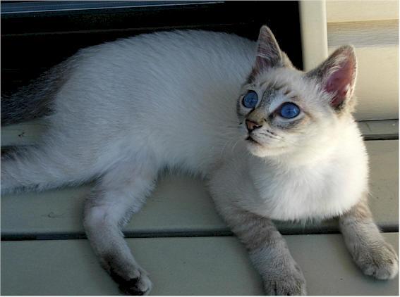 Flame Point, lynx point cat. Lynx Point