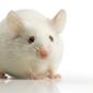white mouse 4